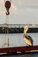 Pelican and Tackle