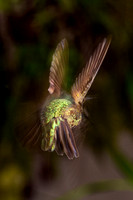 Hummingbird, Leaving